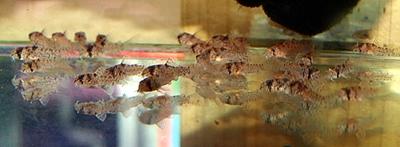 コルレア稚魚